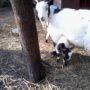 fattoria-didattica-asiloramodoro5